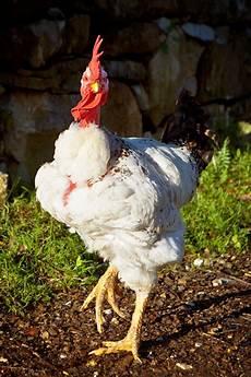 galline da cortile gli animali dell agriturismo poggio diavolino di suvereto