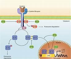 Jak Stat Pathway Mast Cell Homeostasis And The Jak Stat Pathway Genes