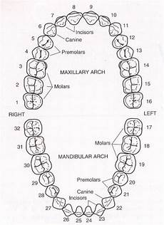 tooth numbering dental mch scribes