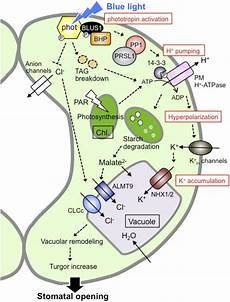 Light Receptors In Plants Blue Light Regulation Of Stomatal Opening And The Plasma