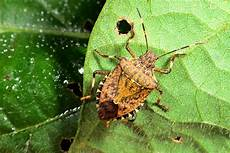 Brown Marmorated Stink Bug Brown Marmorated Stink Bug On The Move Kentucky Pest News
