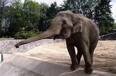 Malvorlage Indischer Elefant Indischer Elefant In Hagenbecks Tierpark Deutschland
