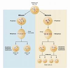 Cell Processes Anaphase I Definition Process And Quiz Biology Dictionary