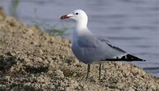 foto di gabbiano gabbiano corso le specie protette gli uccelli in
