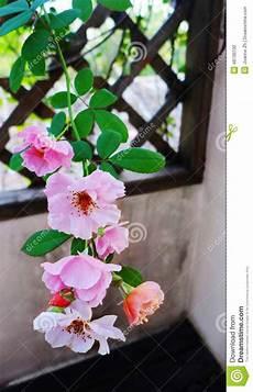traliccio in legno rosa ricante su traliccio di legno fotografia stock