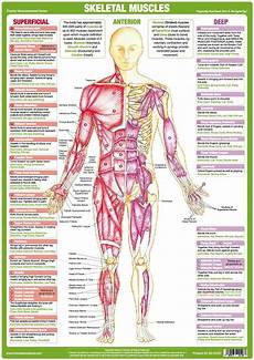Muscle Anatomy Chart Anterior Chartex Ltd