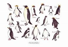 Types Of Penguins Chart Penguins Of The World Field Guide Art Print By Katedolamore