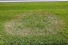 Brown Patch Grass Brown Patch Wikipedia