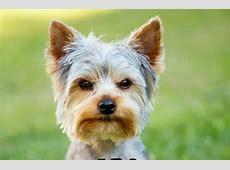 Are Yorkies Hypoallergenic Dogs?  DogVills
