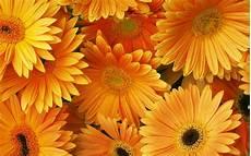 flower wallpaper for desktop free orange flowers hd desktop backgrounds free