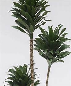 Dracaena Low Light Buy Extra Large Potted Dracaena Janet Craig Indoor Tree