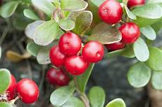 Bear Berry Bearberry Sources Health Benefits Nutrients Uses And