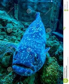 stor fisk stor fisk fotografering f 246 r bildbyr 229 er bild av bubblade