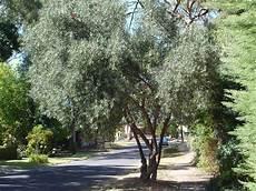 sempreverdi da giardino alberi da giardino sempreverdi alberi latifolie alberi