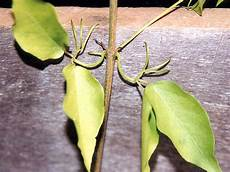 Cats Claws Plant Cat S Claw Creeper Nt Gov Au