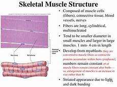 Skeletal Muscle Structure Ppt Muscular System Histology And Physiology Powerpoint