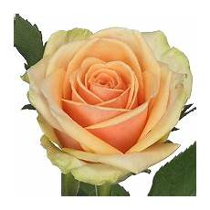 rozen fresco flowers we check pack and supply roses