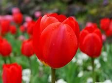 tulipani fiori flowers and co
