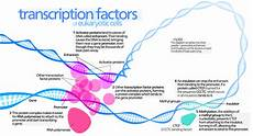 Transcription Biology Transcription Factor Wikipedia