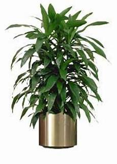Dracaena Low Light Dracaena Janet Craig Low Light Drought Resistant And Air