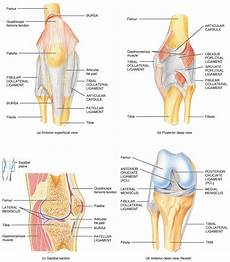 Knees Ligaments And Tendons Muscles Archives Elliots Blog
