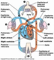 Circulatory System Organs Mammal Circulatory System