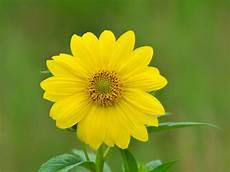 Yellow Flower Wallpaper by Yellow Flower Wallpaper 07437 Baltana