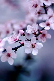 iphone wallpaper hd cherry blossom iphone wallpaper cherry blossom wallpaper area