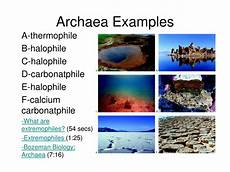 Archaea Examples Ppt Domains Kingdoms And Phyla Powerpoint Presentation