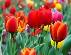 tulipani fiori tulipano tulipa tulipa bulbi tulipano tulipa bulbi
