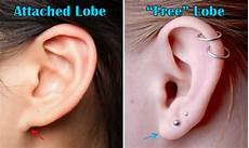 Pedigree Chart For Free Or Attached Earlobes Ear Lobes