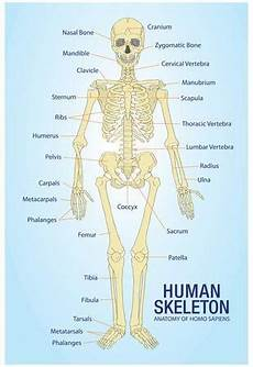 Full Body Anatomy Chart Human Skeleton Anatomy Anatomical Chart Poster Print