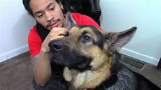 German Shepherd Ear Chart Cleaning My German Shepherd Dog S Ears How To Youtube