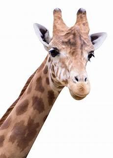 Animal Baby Sofa Png Image by Giraffe Png Transparent Image Pngpix