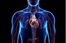Circulatory System Organs Circulatory System Pulmonary And Systemic Circuits