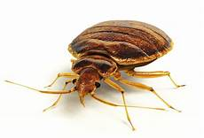 the dreaded hitchhikers the bed bugs northwest