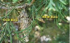 How To Treat Bagworms How To Control Bagworms Grass Pad