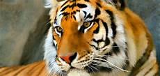 tigre in gabbia napoli trovata tigre in gabbia in un azienda agricola