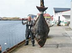 stor fisk h 228 lleflundra 178kg fishing c r 248 st