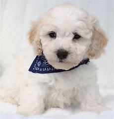 lille hund maltipoo hunderacer allergivenlige hunde hundehvalpe