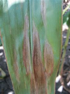 Leaf Blight Northern Leaf Blight Prevalent In Iowa Integrated Crop