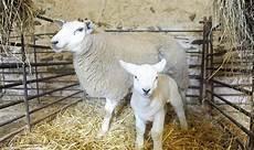 Newborn Lamb Newborn Lamb Weighs In At 24 Pounds 2 Oz Crowned Biggest