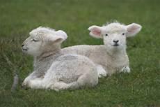 Newborn Lamb Mystery As Farmer Finds His Newborn Lambs Mutilated