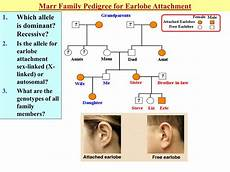 Pedigree Chart For Free Or Attached Earlobes Ppt Mendelian Genetics Amp Inheritance Notes Genetic Terms