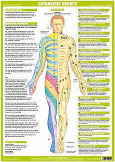 Chart Of Nerves In Back Cutaneous Nerves Anatomy Chart Anterior Nerve Anatomy