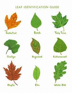Oak Leaf Id Chart Rookie 187 Saturday Printable Leaf Identification Guide