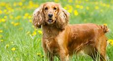 American Cocker Spaniel Size Chart The English Cocker Spaniel A Complete Guide To This