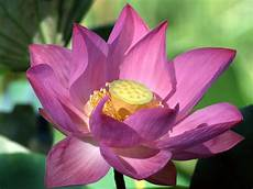 flower wallpaper lotus flowers flower hd wallpapers images pictures