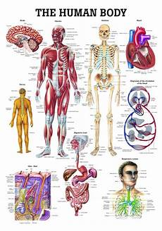 The Human Body Chart Clinical Charts And Supplies