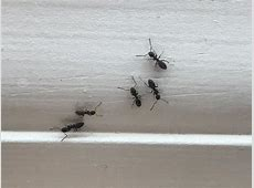Pests We Treat   Pavement Ants Invade Kitchen In Asbury Park, NJ